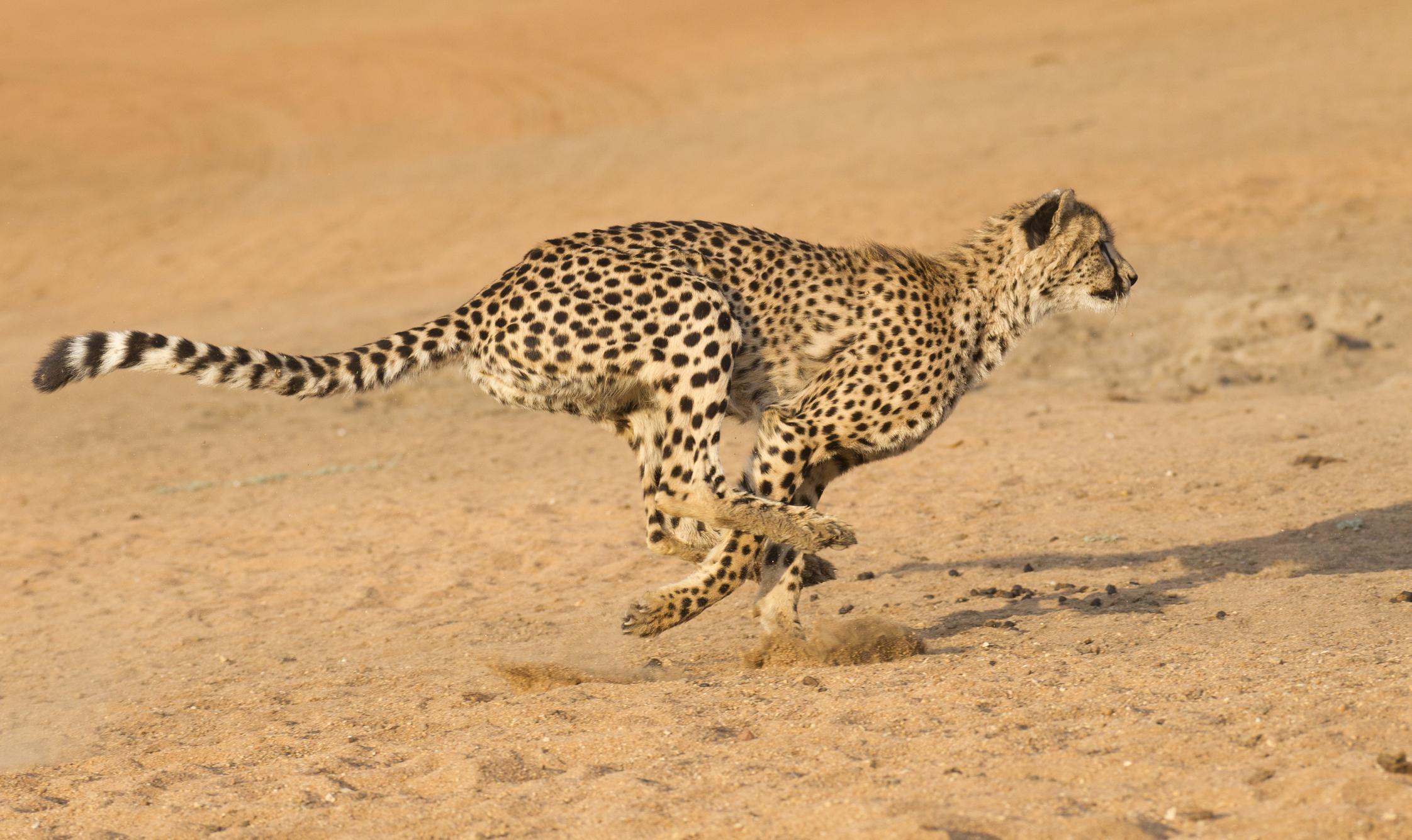 El Guepardo consigue la máxima aceleración gracias a sus capacidades innatas.