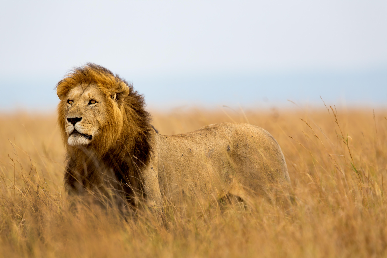 El territorio de un león está celosamente controlado y sólo pueden entrar los individuos autorizados.